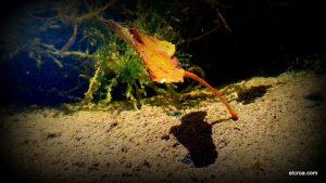 Hoja otoño flotando en las lagunicas del CROA