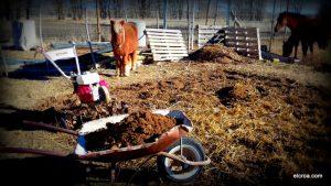 Recogida de estiercol para abonar el huerto