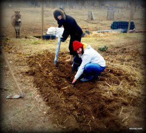 Voluntarias plantando ajos en el huerto del CROA