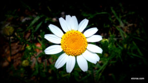 Flor de manzanilla de los campos en el CROA
