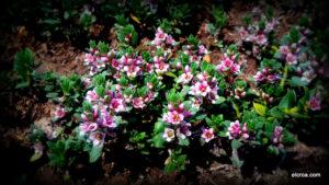 Flor de Glaux maritima en el CROA