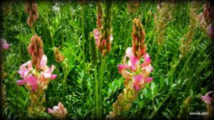 Flor de pipirigallo en el CROA
