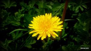 Flor de diente de leon en el CROA
